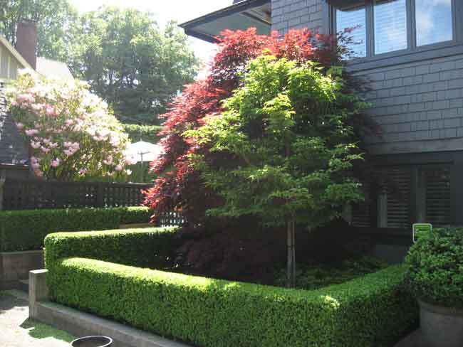 Boxwood Hedge Trimmed