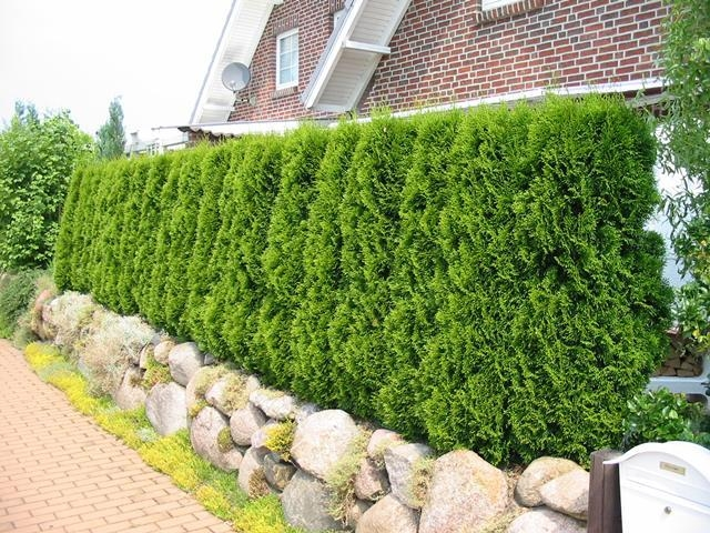 the 4 best tall growing evergreen hedge plant options. Black Bedroom Furniture Sets. Home Design Ideas
