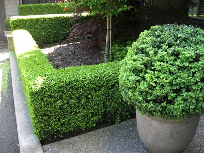 Super How To Hedge Trim Archives - Higher Ground Hedges NT84